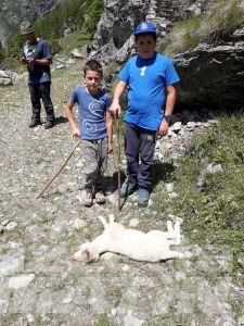 Lupo: nuovo attacco a Gressoney-La-Trinité, tre pecore morte